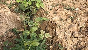 Manisa'da yaşandı: Fasulye bahçesinde kenevir yetiştirirken yakalandı