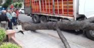 Kamyonun devirdiği ağaç birini yaraladı