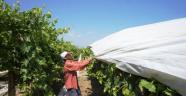 Kötü hava şartları artık üzüm bağlarını etkilemeyecek